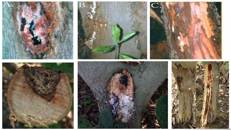 Phytophthora9