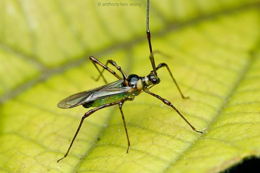 Bọ xít muỗi và biện pháp phòng trừ