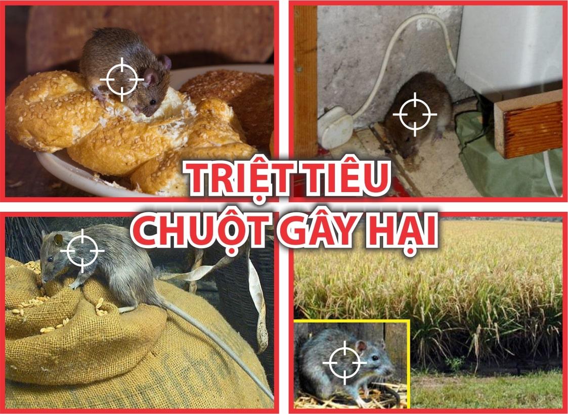 ChuotGayHai