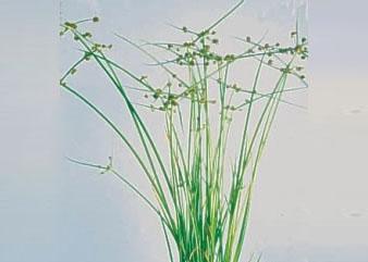cỏ lác mỡ