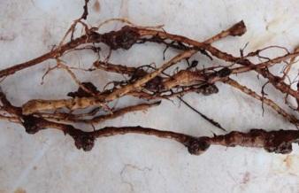 Bướu rễ cây hồ tiêu